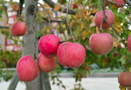 Apple Town Aomori