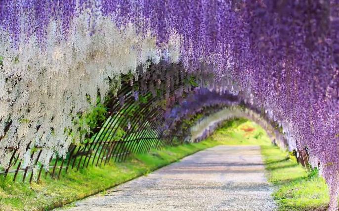 เที่ยวญี่ปุ่น Kawachi Fugi